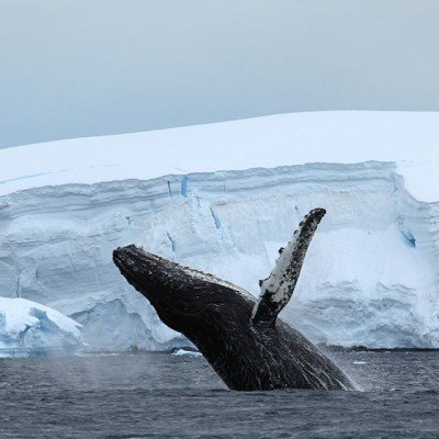 Whale breach in front of an iceberg inAntarctica