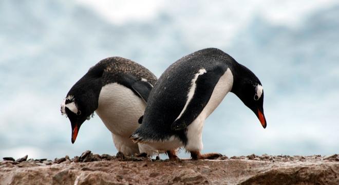 Peregrine/Quark Expeditions Gentoo Penguins