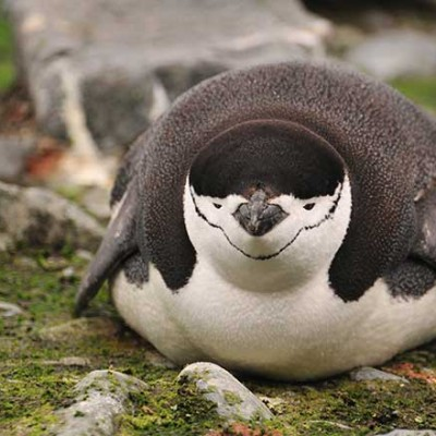 Chinstrap Penguin off the beaten track
