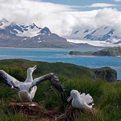 Wandering Albatross nesting and breeding island, South Georgia